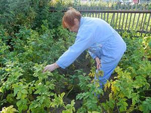 У картофеля начали желтеть листья