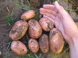 Урожай картофеля Ред Скарлет