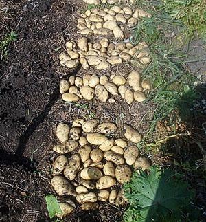 Урожай картофеля после окучивания