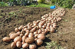Урожай картофеля по Митлайдеру