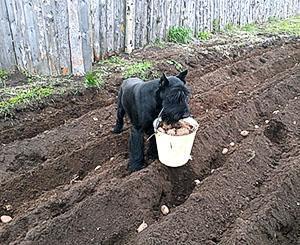 Высадка картофеля в борозды