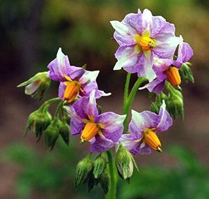 Надо ли обрывать цветки у картофеля