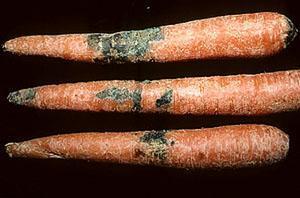 Описание болезней моркови и способов борьбы, видео