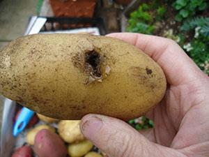 Проволочник в картошке - как избавиться от опасного вредителя видео