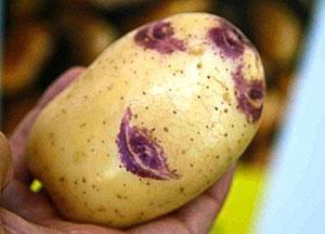 Фото картошки