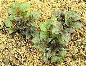 Выращивание картофеля под сеном и соломой 863