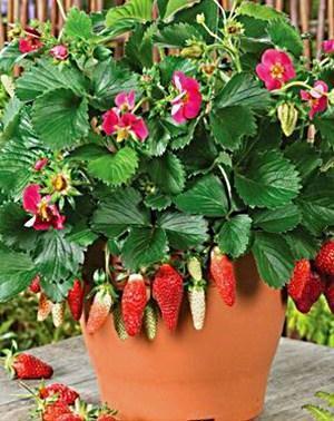 клубника в горшке цветет