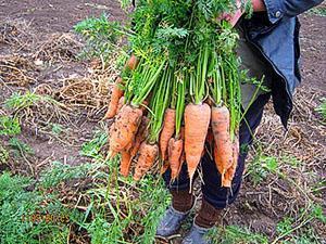 Уборка моркови вручную