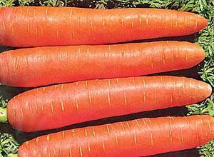 Морковь Алтайская укороченная