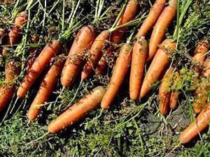 Урожай моркови на хранение