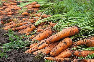 Морковь выращенная на грядке