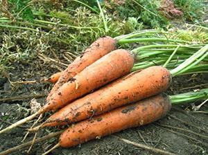 Морковь выращенная в Сибири