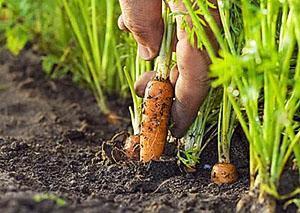 Новый урожай полезного овоща