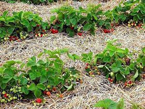 Открытое выращивание клубники
