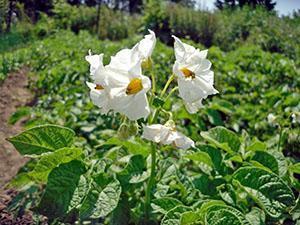 Период цветения картофеля