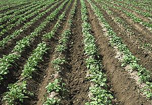 Первое окучивание картофеля
