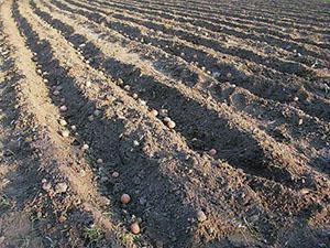 Посадка картофеля по голландской технологии