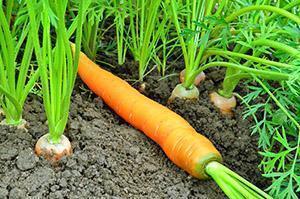 Грамотный полив и подкормка моркови - залог богатого урожая, видео