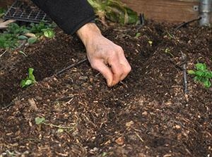 Посев овощей на грядку
