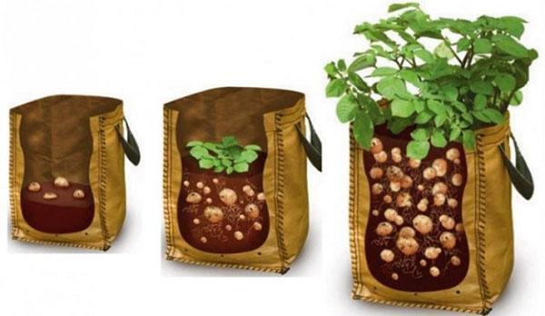 Процесс выращивания картофеля