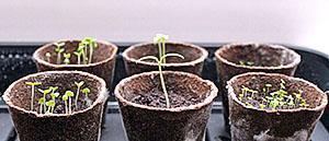 Семена клубники в горшках
