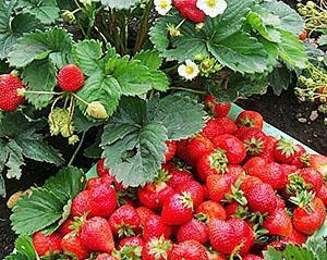 Спелые ягоды ремонтантной клубники