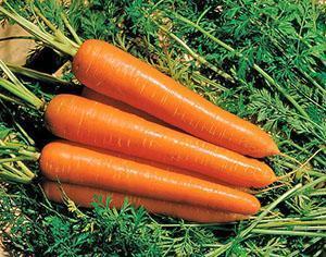 Среднеспелая морковь Тип-Топ