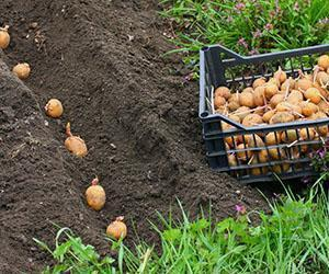 Траншейная посадка картофеля