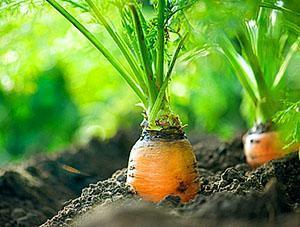Ухоженная грядка моркови