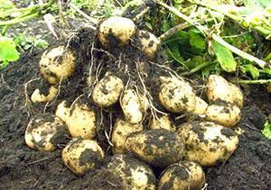 Урожай картофеля в открытом грунте