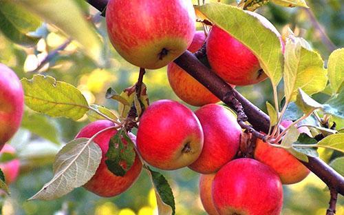 Ароматные плоды - результат заботы дачника