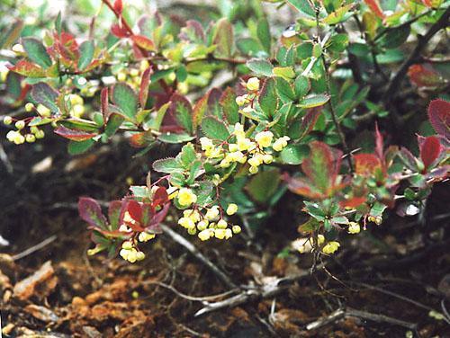 как цветет барбарис обыкновенный фото