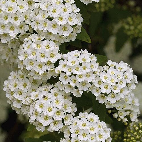 Белоснежные соцветия Вангутты