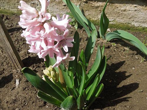 Цветение гиацинта на грядке
