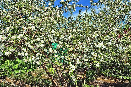 Цветение яблони на Урале