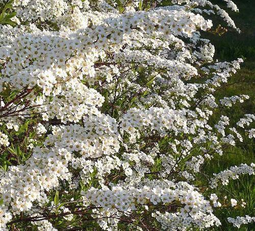 Цветет спирея Аргутта
