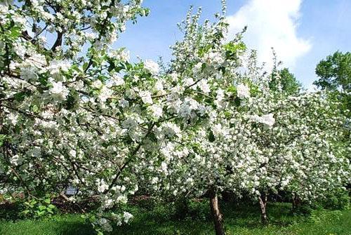 Цветет яблоневый сад