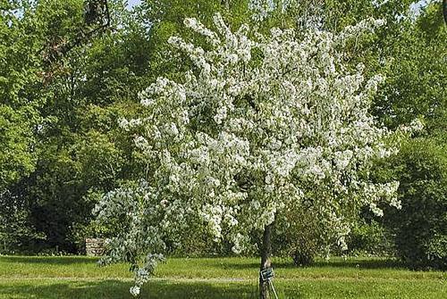 Цветет яблоня Услада