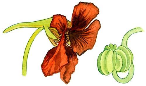 Цветок настурции и коробочка с семенами
