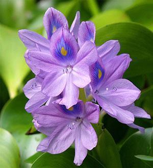 Цветок водного гиацинта