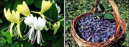 Цветы и плоды жимолости