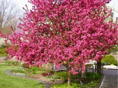 Декоративная яблоня в вашем саду
