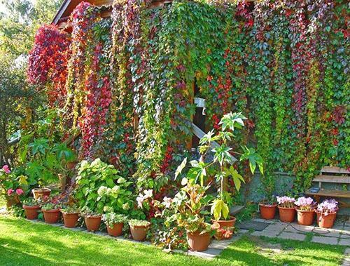 Декорирование стен дома девичьим виноградом