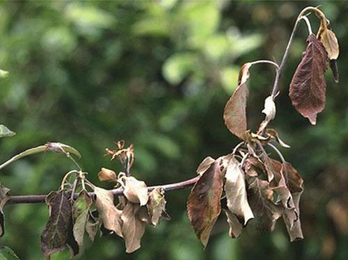 Дерево пораженное паршой