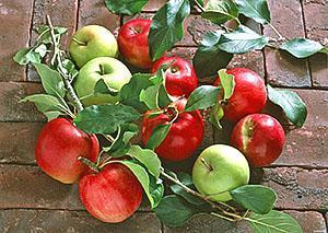 Два сорта яблок на одном дереве
