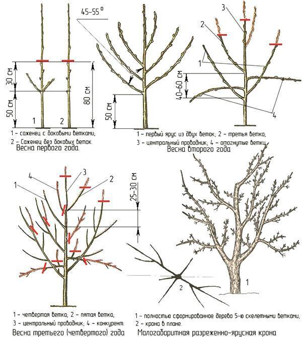 Формирование кроны карликовой яблони