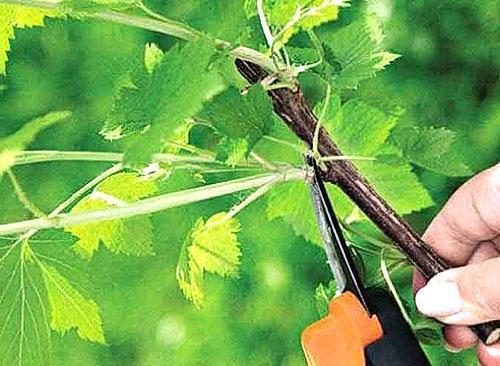 Формирование лозы бесштамбового куста винограда