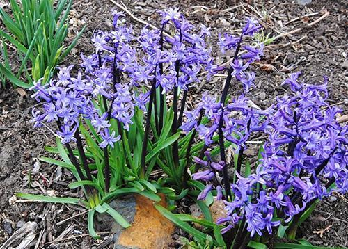 Гиацинт теряющий способность к цветению