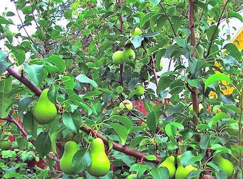 Груша и яблоко на одном дереве