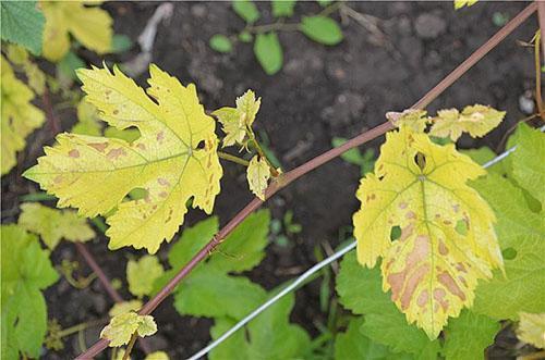 Хлороз листьев винограда